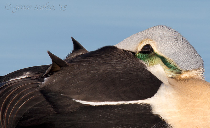 King Eider Resting Portrait