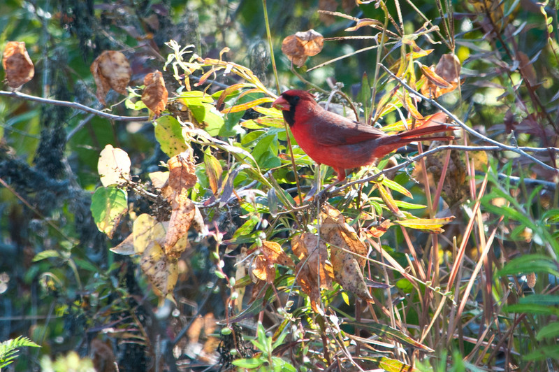 Northern Cardinal at Ding Darling Bailey Tract. It's fun to see these common backyard birds in a very different habitat.
