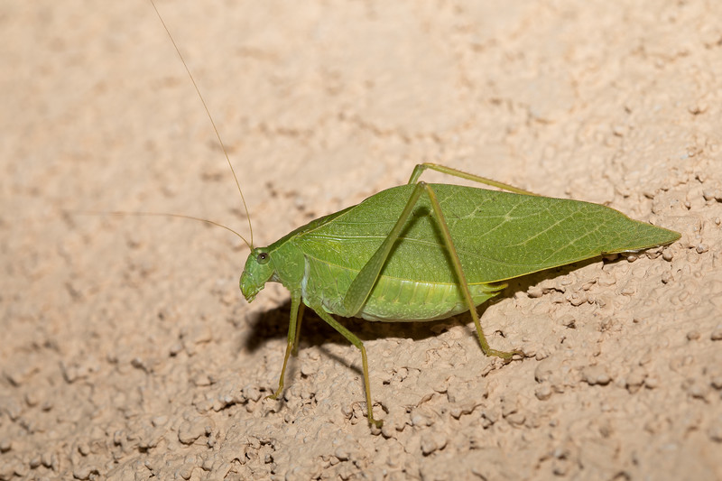 Microcentrum rhombifolium - Greater Angle-wing Katydid