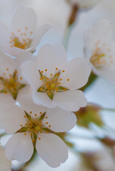 Cherry Blossom-aeamador-0187.jpg