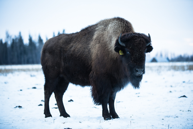 AHP171212_buffalo1504.jpg