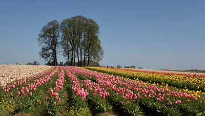 Wooden Shoe Tulip  Fields