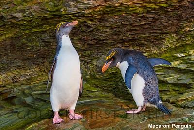 Macaroni Penguin, South Georgia
