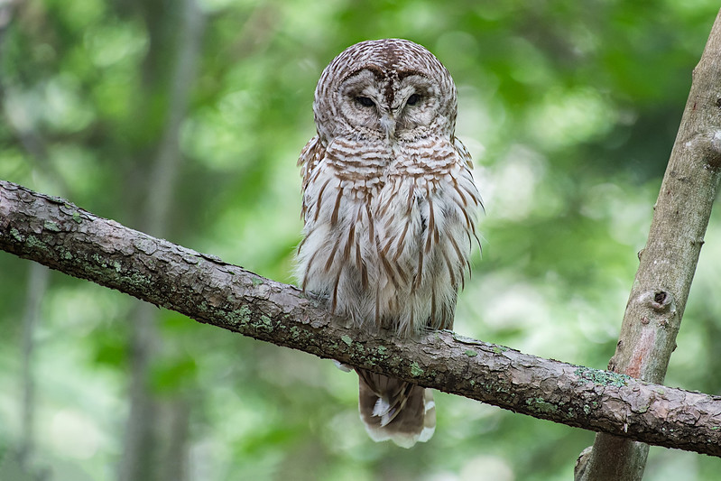 #743 Barred Owl