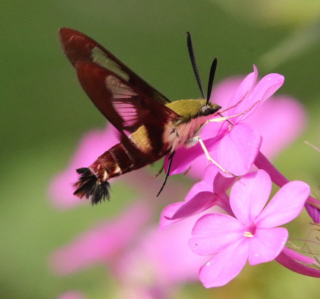 Hummingbird moth 42