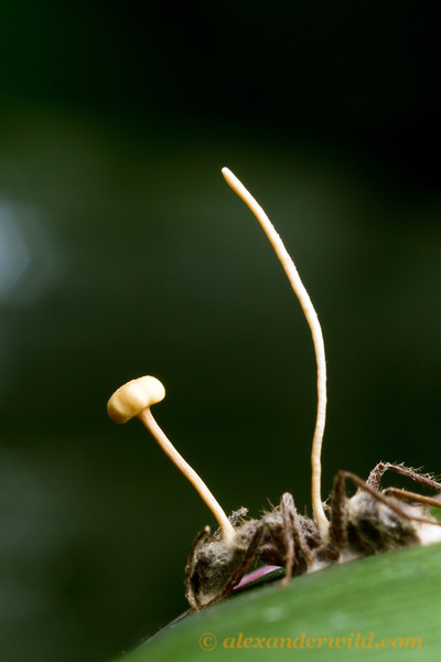 An Ophiocordyceps fungus sprouts from a Camponotus carpenter ant.