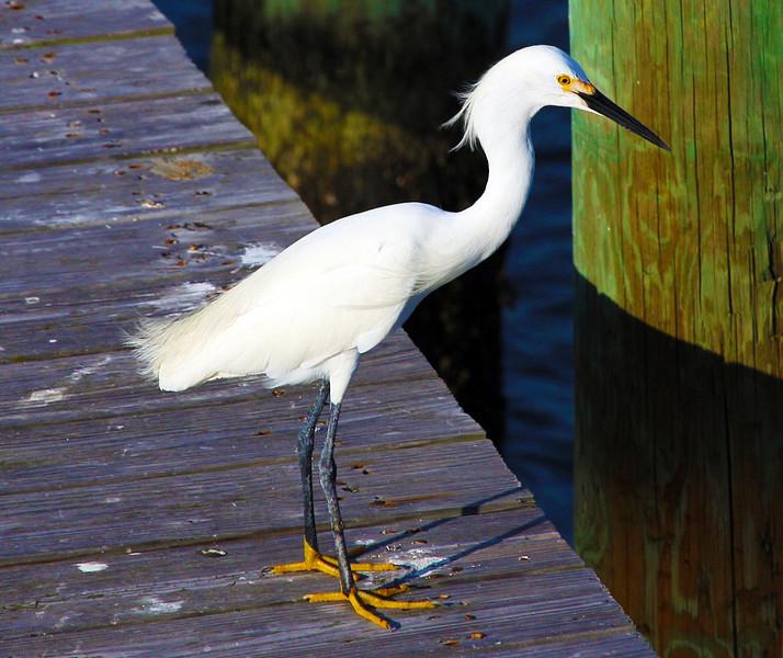 A Snowy Egret lands next.