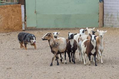Sheep #4