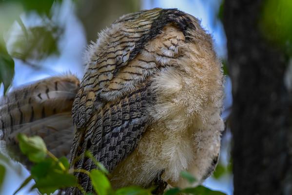 5-18-16 Great Horned Owl Family FCPP
