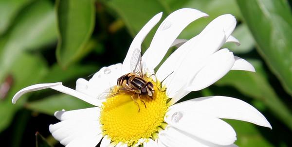 Bela, bees, hoover flies, flowers