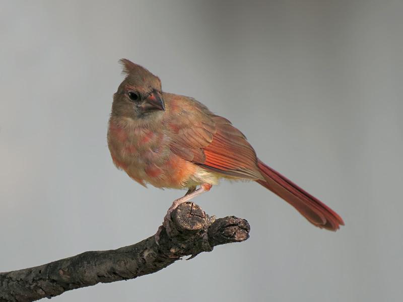 sx50_cardinal_fledgling_bit_071.jpg