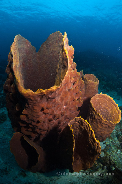 Barrel Sponges, Elephant Ears and Fans, Tanjung Mangguar, Cendrawasih Bay, Indonesia