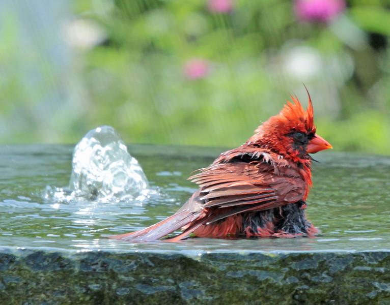 Bathing cardinal 3
