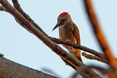 Little Grey woodpecker