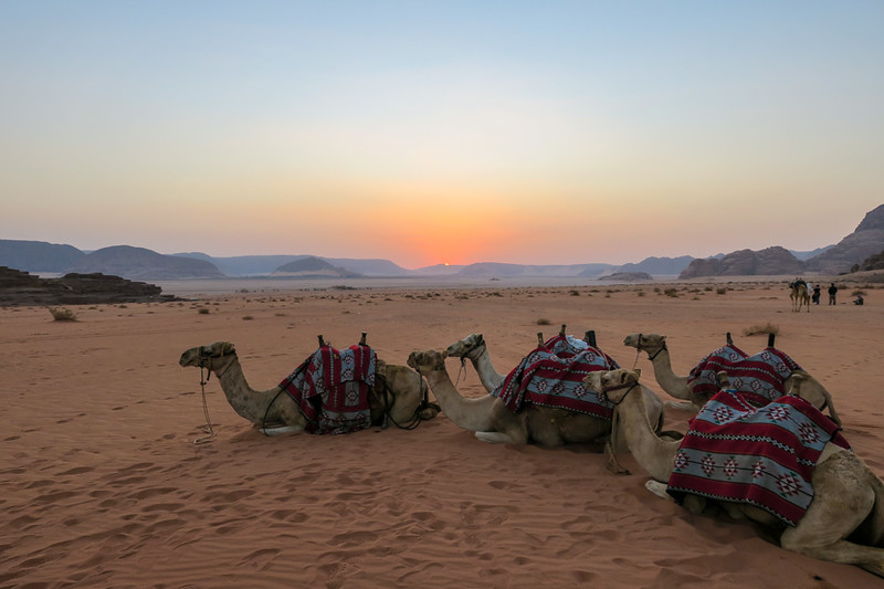 camels sitting in the desert at sunrise