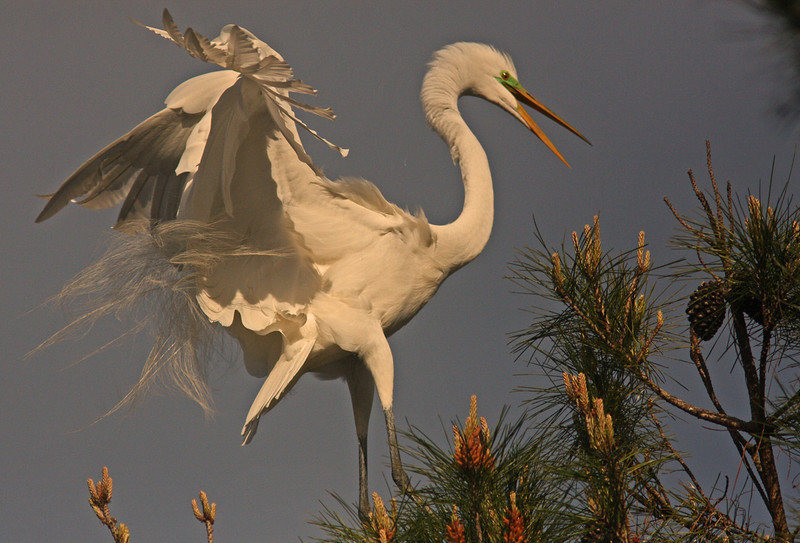 WB~Rookery egret squawking tree1280.jpg