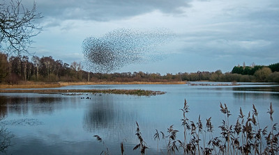 WHISBY STARLING MURMURATIONS (3)