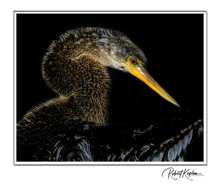 Anhinga Portrait Edited-9013-Framed.jpg