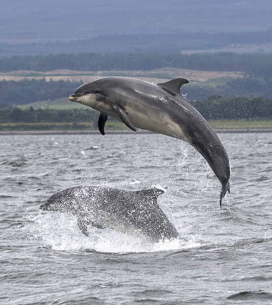 Bottle nosed dolphin mother and calf