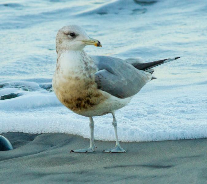 California Gull Carlsbad 2014 12 26-1.jpg