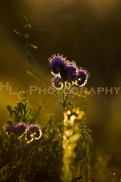 03/21/09 California City - wild flowers