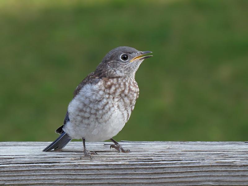 sx50_bluebird_fledgling_335.jpg