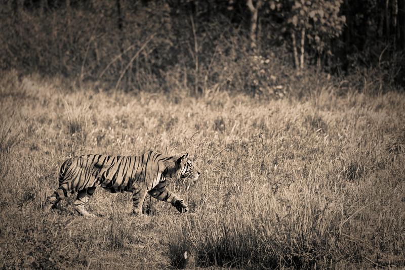 Stalking tiger.