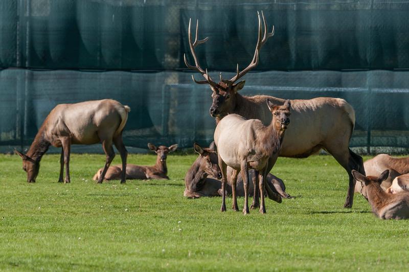 elk-at-ball-park-1-5.jpg