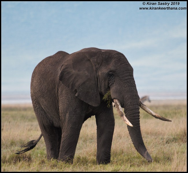 African Elephant, Ngorongoro Crater, Ngorongoro Conservation Area, Tanzania, November 2019