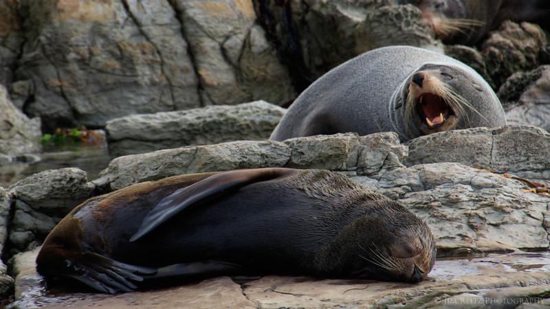Seals - Kaikoura, New Zealand