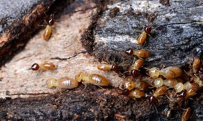 Isoptera - Termites