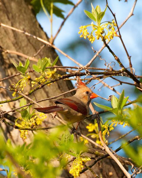 Cardinal (f) 2507