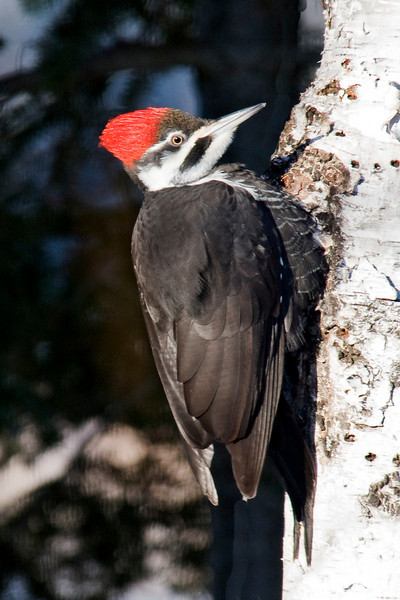Woodpecker - Pileated - female - Dunning Lake - Itasca County, MN