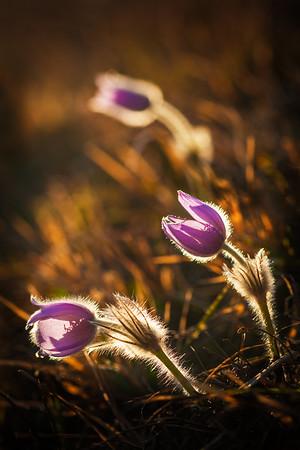 Pulsatilla meadow