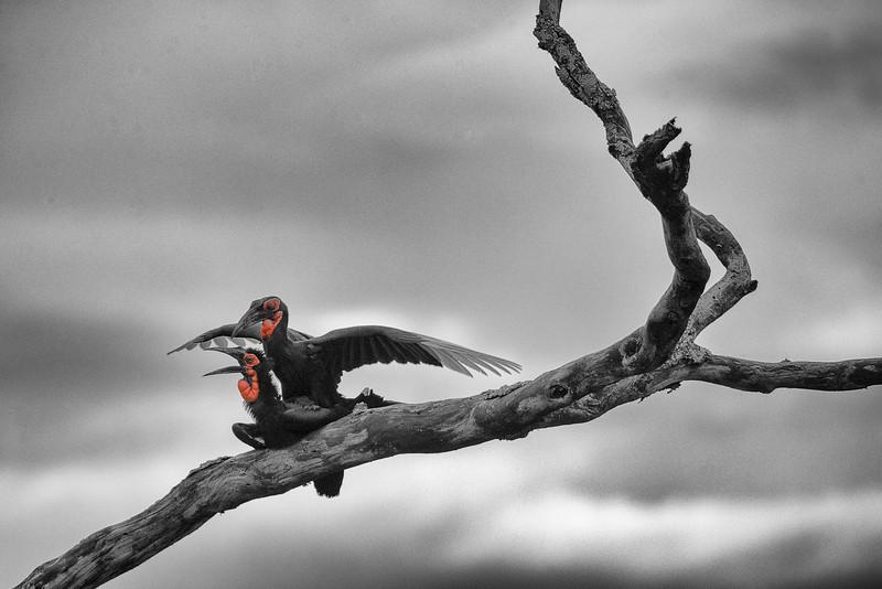 Serengeti_12_2013_Hornbill_4_FH0T8083.jpg