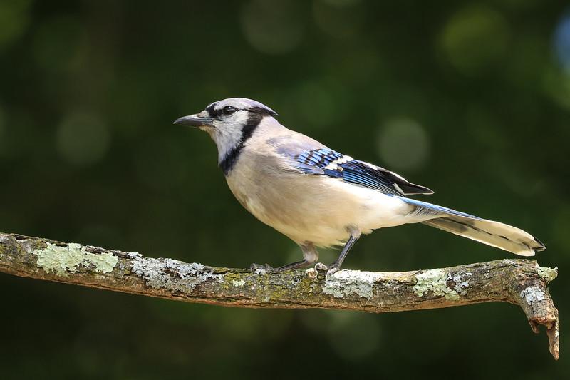 Blue Jay - Pennsylvania