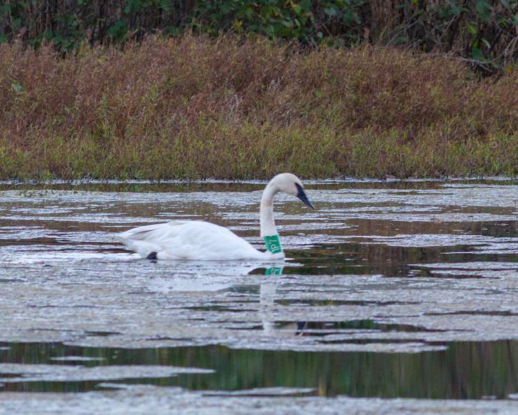 20161104-BoxleyValley-Swan-2.jpg