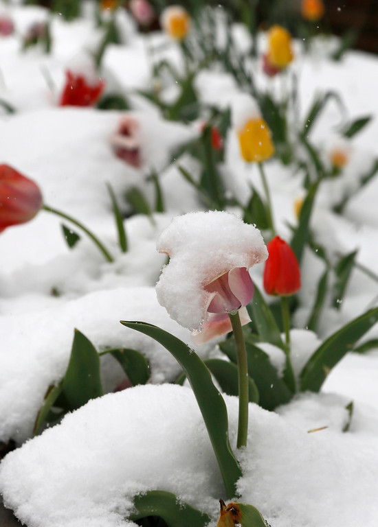 . A bed of tulips is covered with fresh snow in downtown Golden, Colorado May 1, 2013.  REUTERS/Rick Wilking