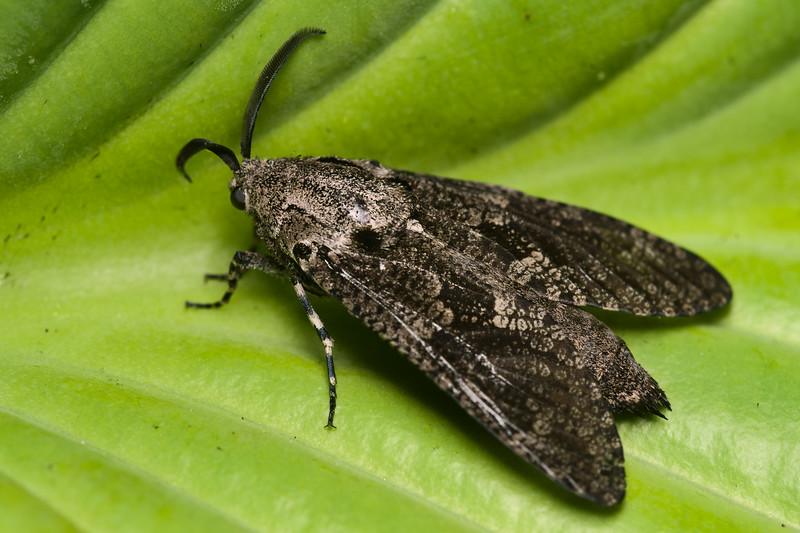 Carpenterworm Moth, Prionoxystus robiniae
