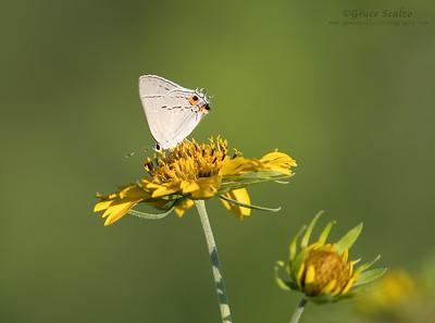 Gray Hairstreak Butterflies