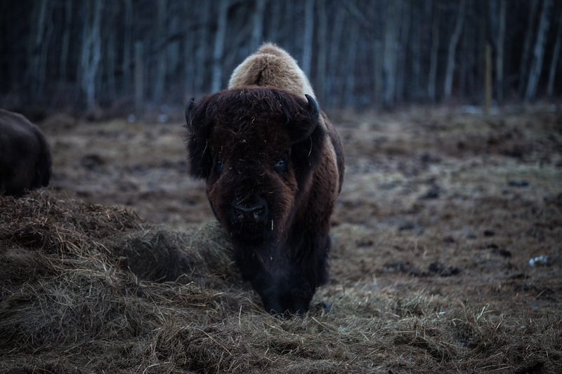 AHP171212_buffalo1424.jpg