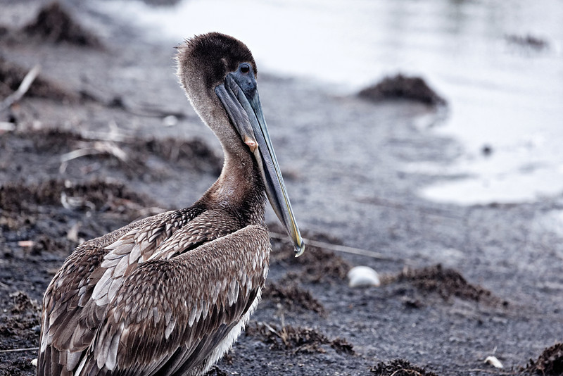 Brown Pelican - St. Marks NWR, Florida