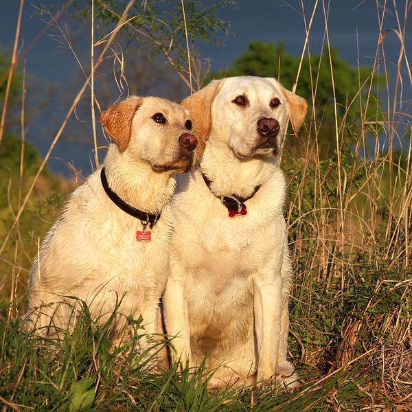 Labradors Watching.jpg