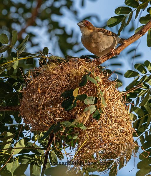 Sakalava Weaver and Nest