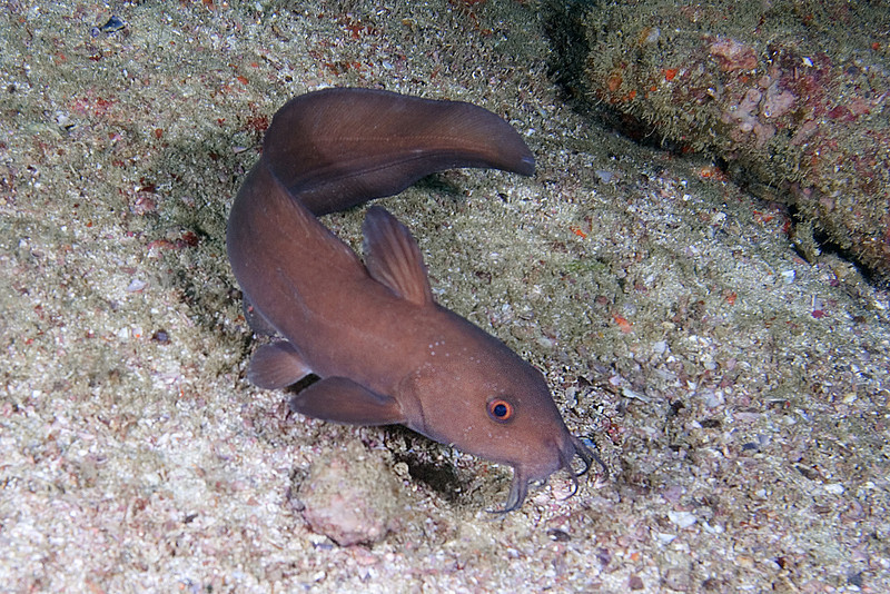 xxEel Tail Catfish 1.jpg