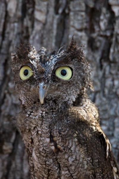 Eastern Screech Owl Vermont 2019-2.jpg