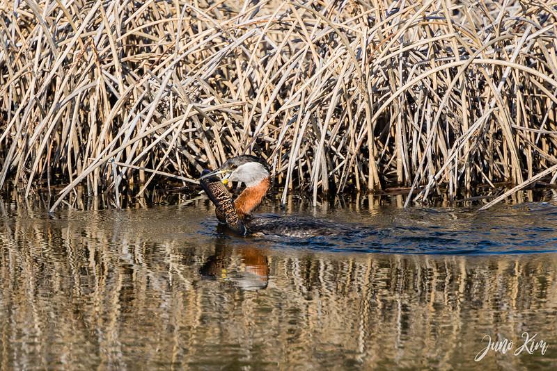 2020-05-12_Potter Marsh bird-_6109345-2-Juno Kim.jpg