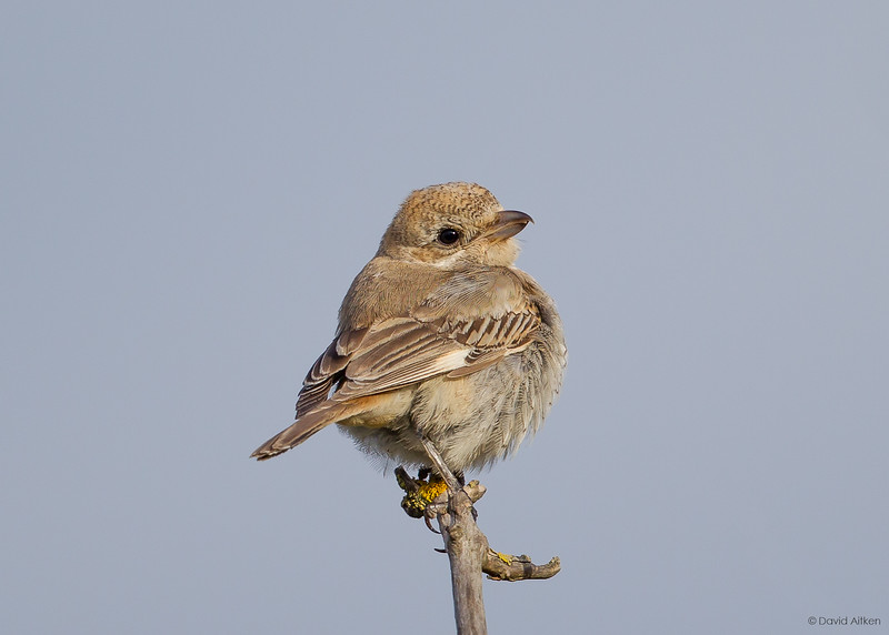 Woodchat Shrike - Barns Ness, Lothian 29/09/18