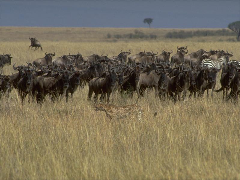 1999567 Hunting Cheetah.jpg