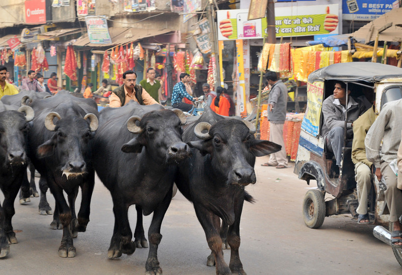 _DSC3348_bulls.jpg